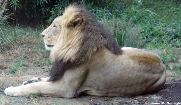 John African Lion at Cinti Zoo