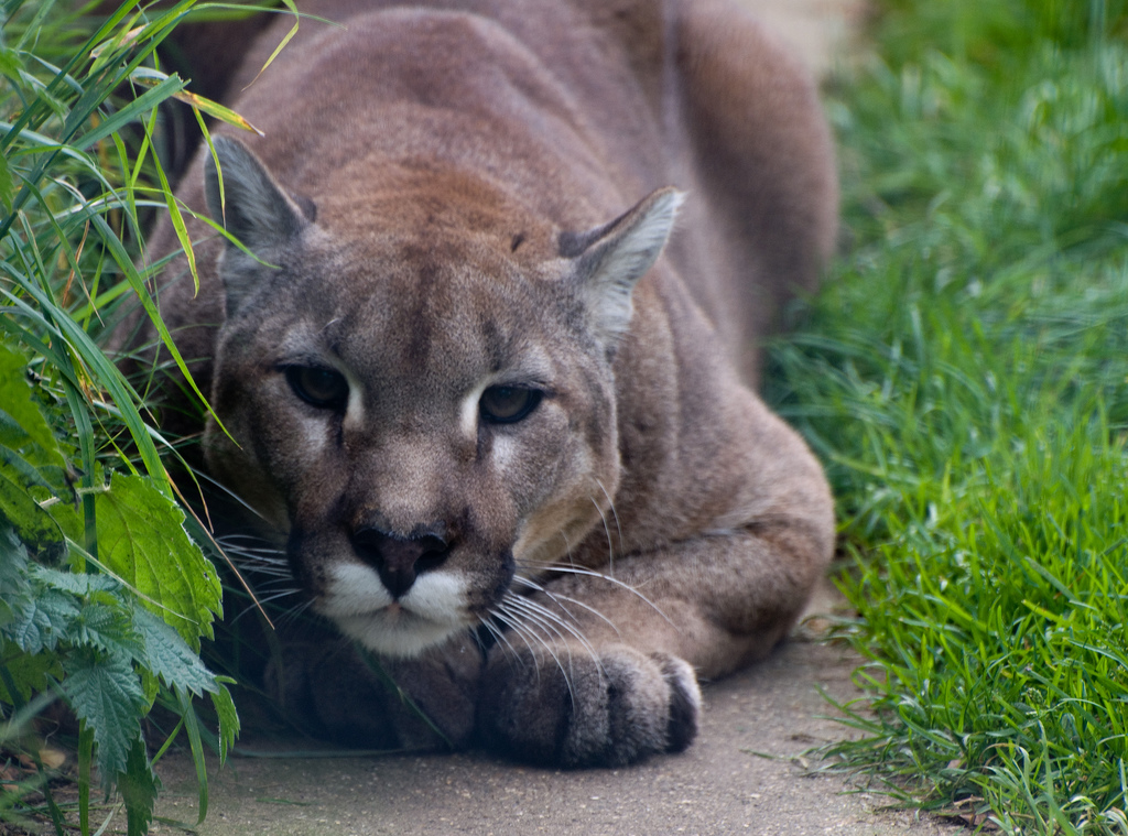 The Mountain Lion.  World Environment Day