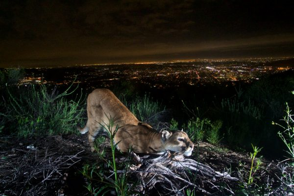 Santa Monica Mountain Lion