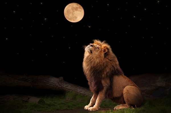 Lion looking at full moon