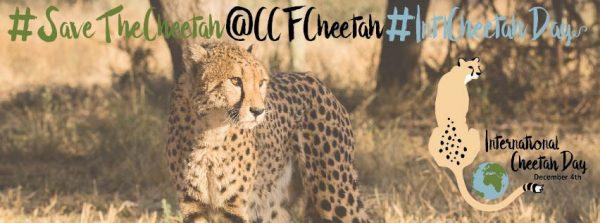 International cheetah day 2016
