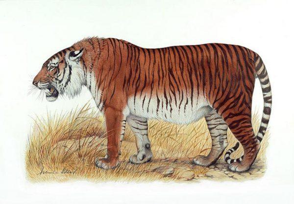 caspian_tiger Helmut Diller, WWF