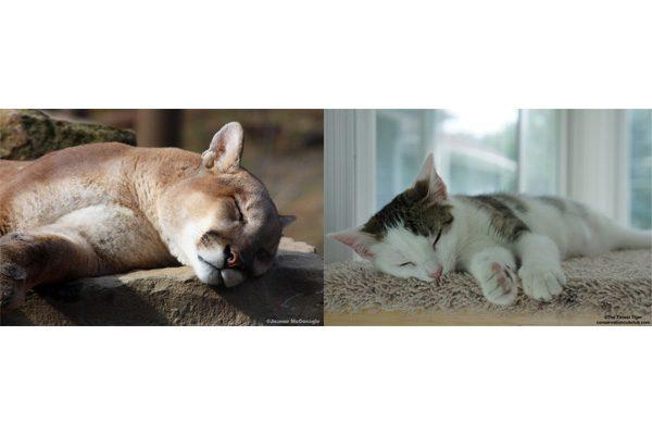 Annie cougar sleeping