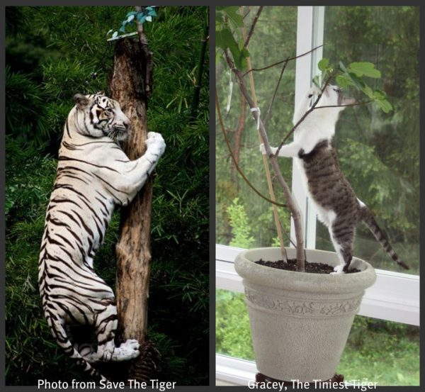 Gracey imitates tiger on tree