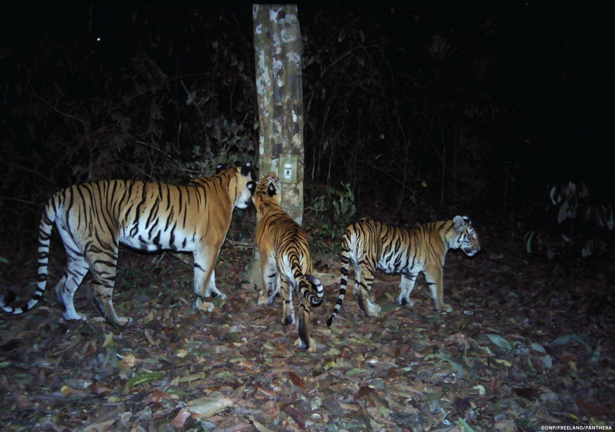 Sign of Hope for Indochinese Tigers