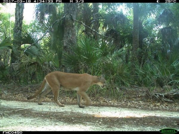 camera trap panther image