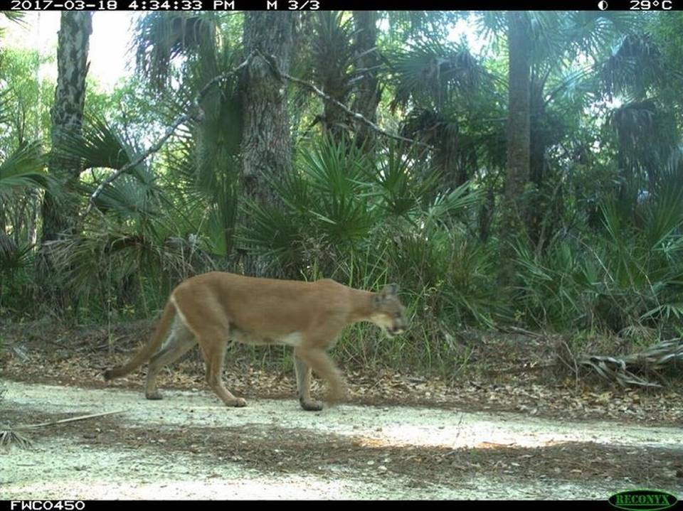 Two Florida Panther Kittens Spark Hope For Recovery Project