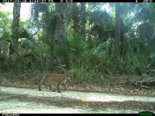 camera traps panther kittens