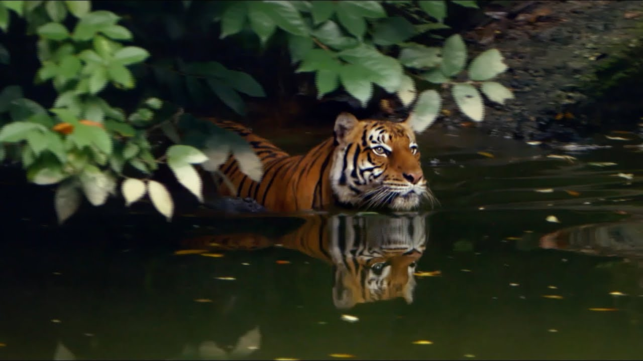One Lonely Tiger | Global Tiger Day