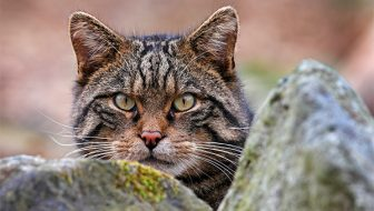New Hope for World's Rarest Feline  The Scottish  Wildcat