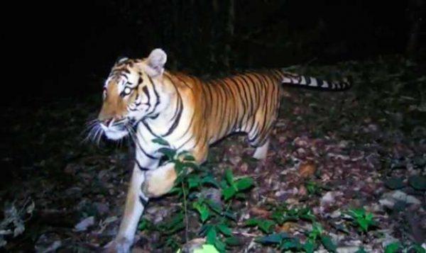 Tiger 197F
