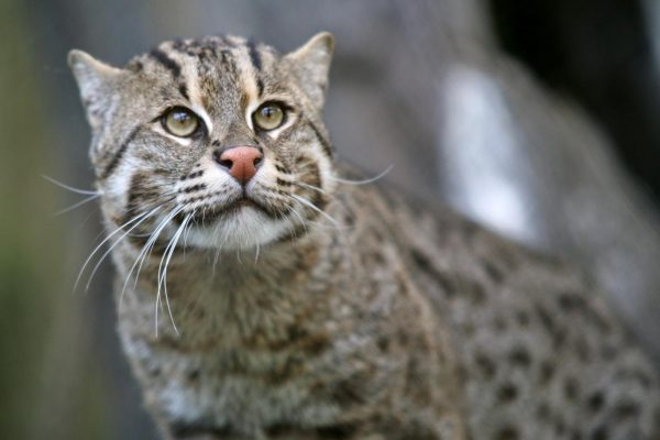 Fishing Cat WCN