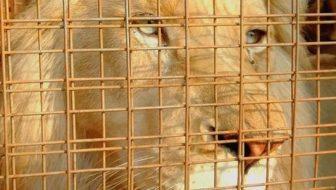 Help Save Mufasa White Lion's Life