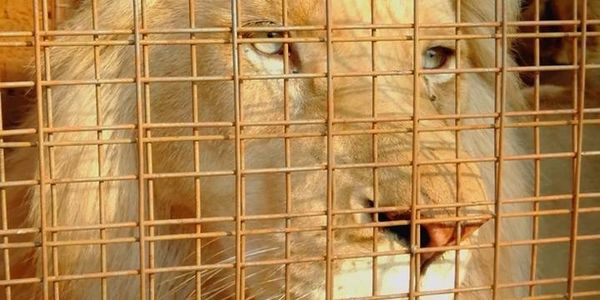 Help Save Mufasa White Lion's Life