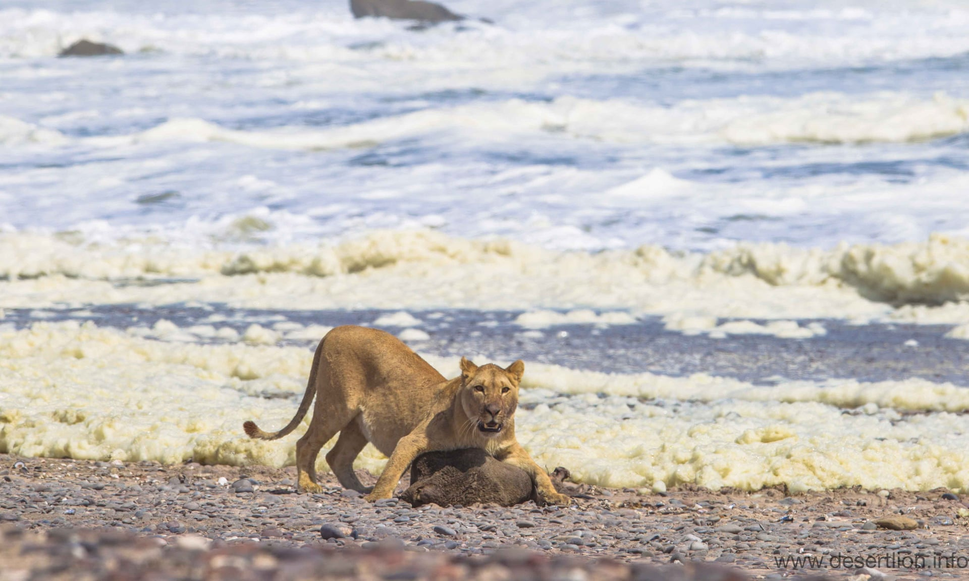Lions Adapt to Marine Diet