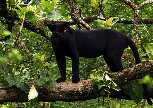 The Elusive Black Leopard