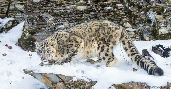 Snow Leopard |Wild cat