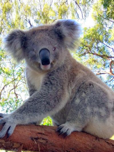 Emerald Downs Mary Koala