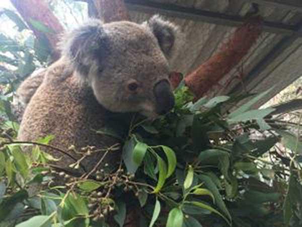 Image courtesy of Koala Hospital