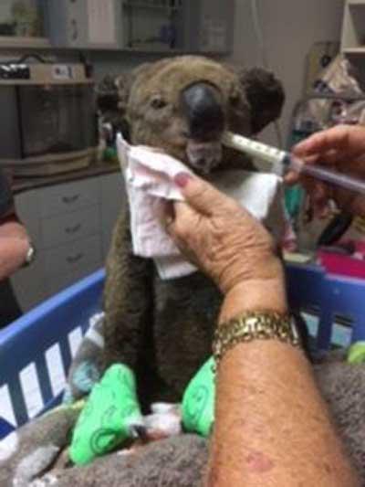 Injured Koala named Paul at the Koala  Hospital
