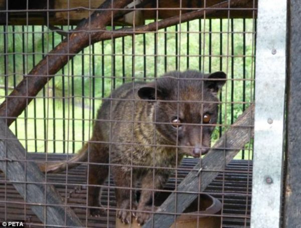 civet  wildlife trade