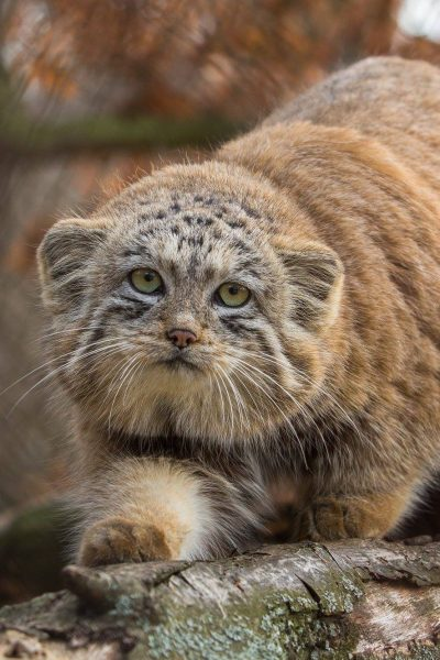 Pallas's Cat Eva Stepankova
