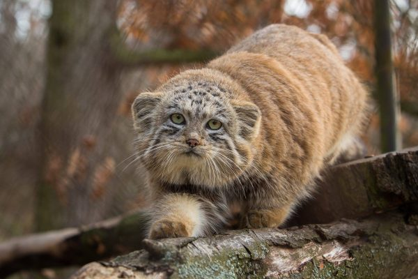 Pallas's Cat Eva Stepankova