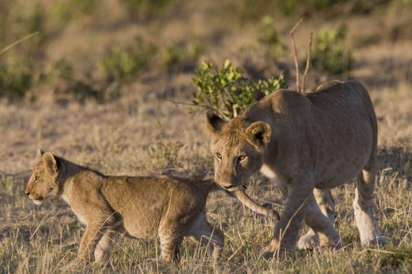 Lioness bites her cub in the Masai Mara - Kenya @ FrankParker
