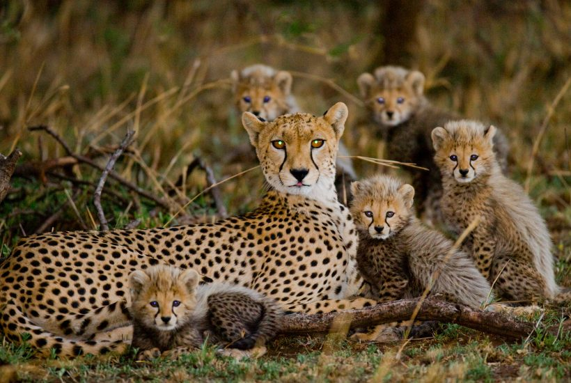 Mother Cheetah with her cubs @ GUDKOVANDREY