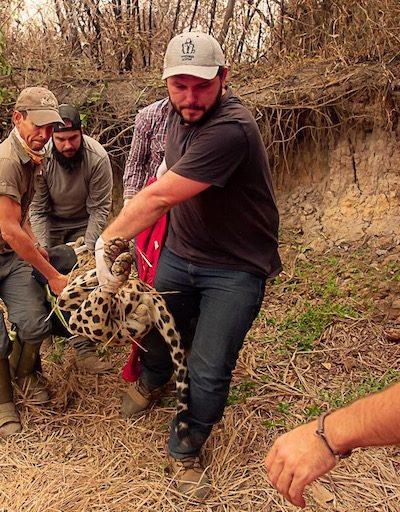 Jaguar returns to wild