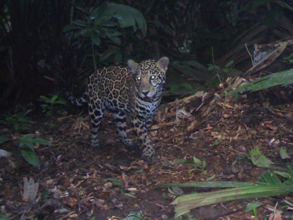 Jaguar_Punta de Manabique_012115_CAM30927_edited